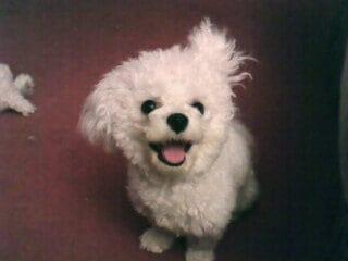 Bichon Frise dog
