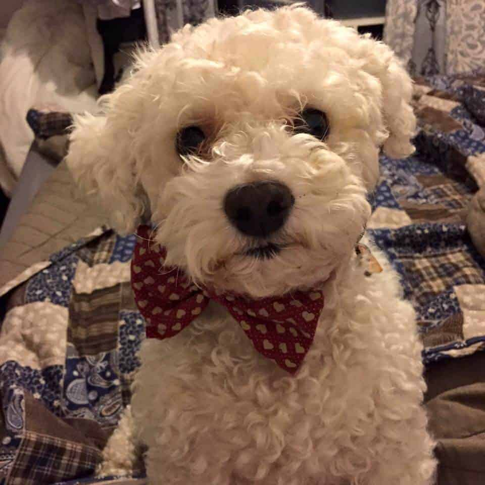Bichon dog Casper