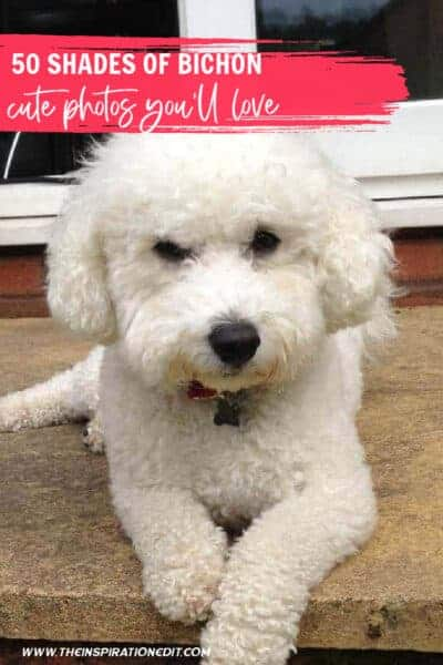 bichon photos