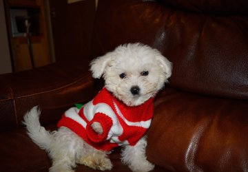 Bichon Frise dog christmas jumper