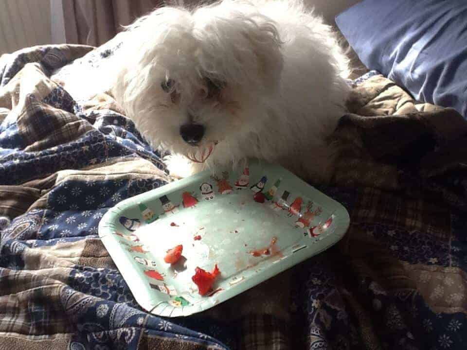 Bichon Frise food photography eating strawberries