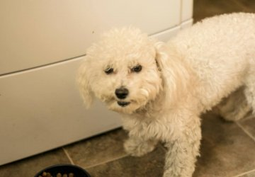 bichon frise dog food