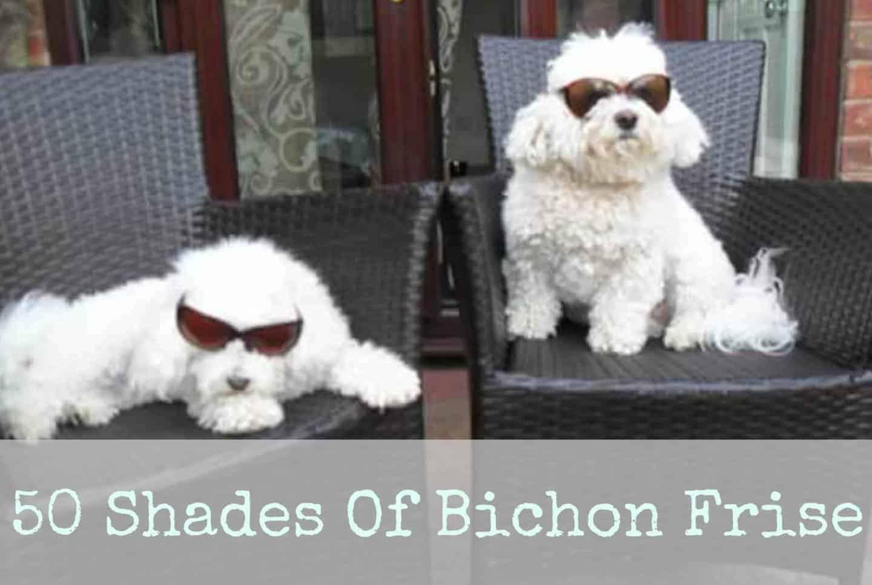 50 Shades of Bichon Frise