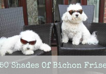 bichon Frise dog with glasses