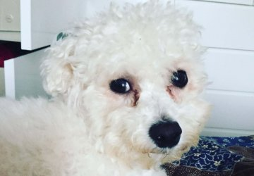 yoda the bichon frise dog