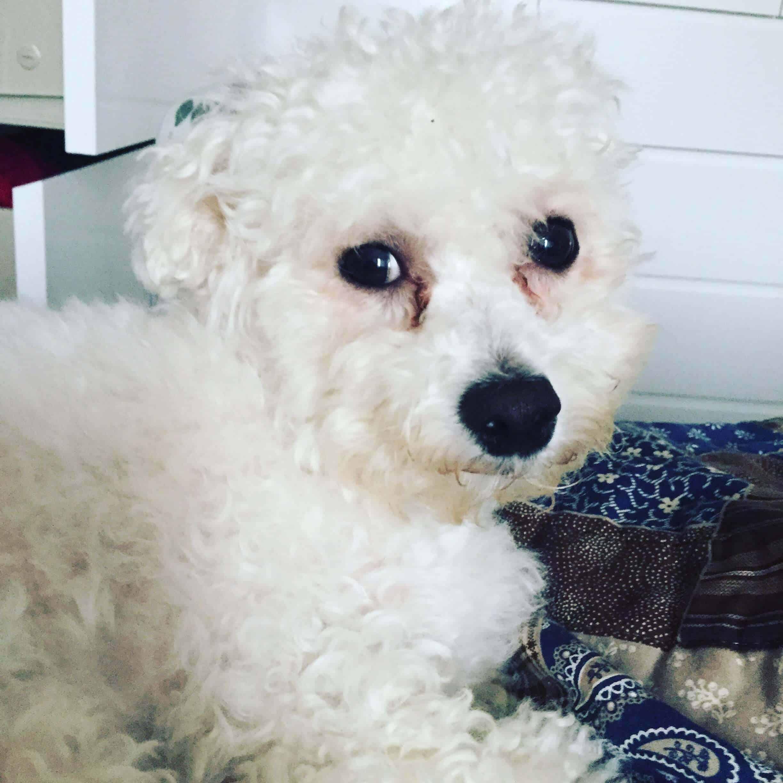 yoda the bichon frise dog