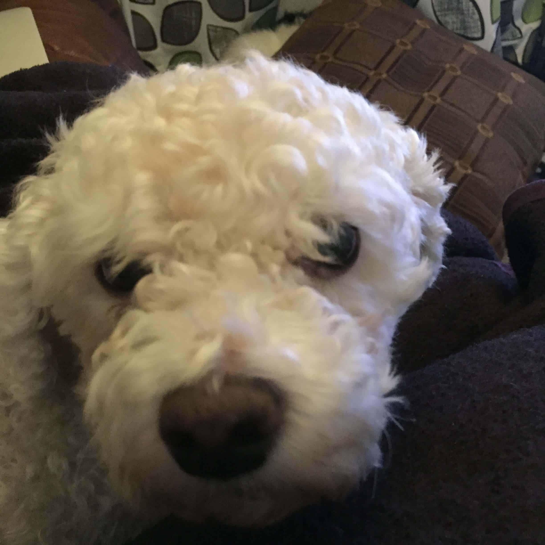Bichon Frise Dog casper