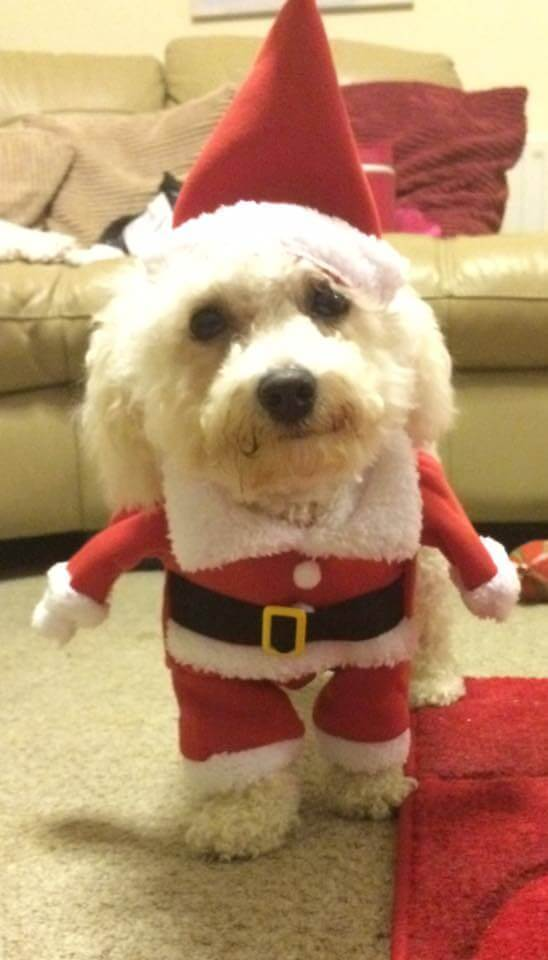 Bichon Frise Dog in santa outfit