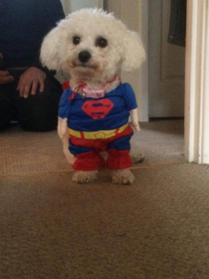 Bichon Frise Dog in superman outfit