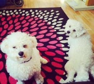 Bichon Dog photo