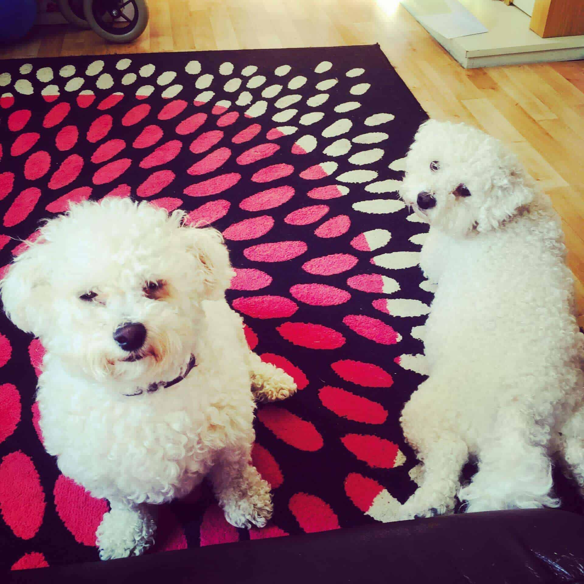 Bichon Dog photo