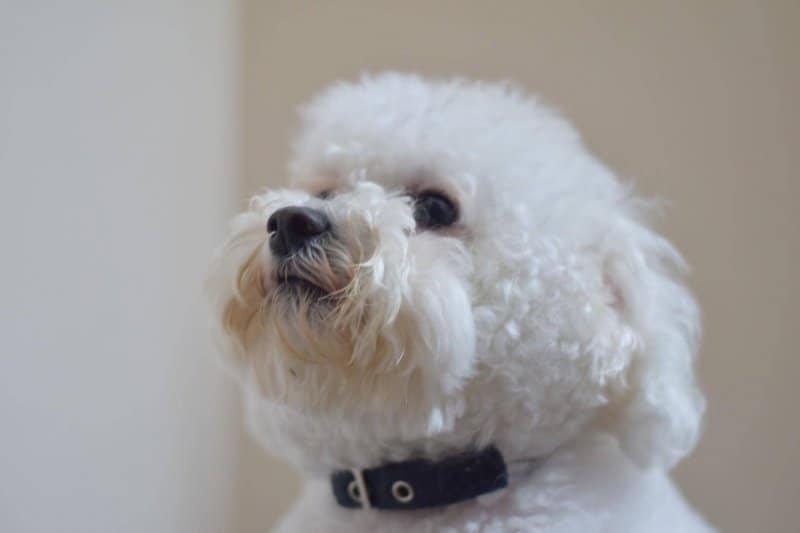 Bichon Frise overweight dog