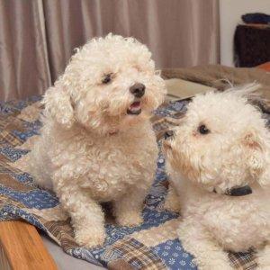 Bichon Frise Dogs