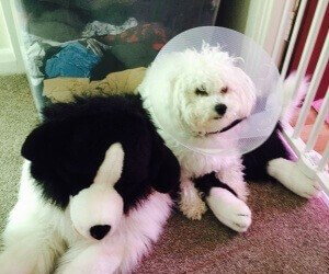 poorly bichon dog