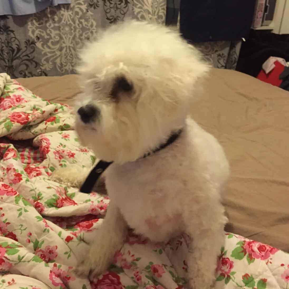 bichon frise in the shower