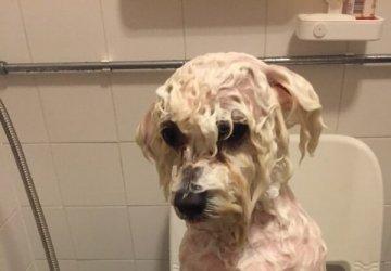 bichon frise grooming image