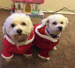 bichon frise dog in santa costume