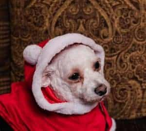 bichon in santa suit