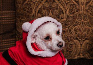 bichon in santa suit