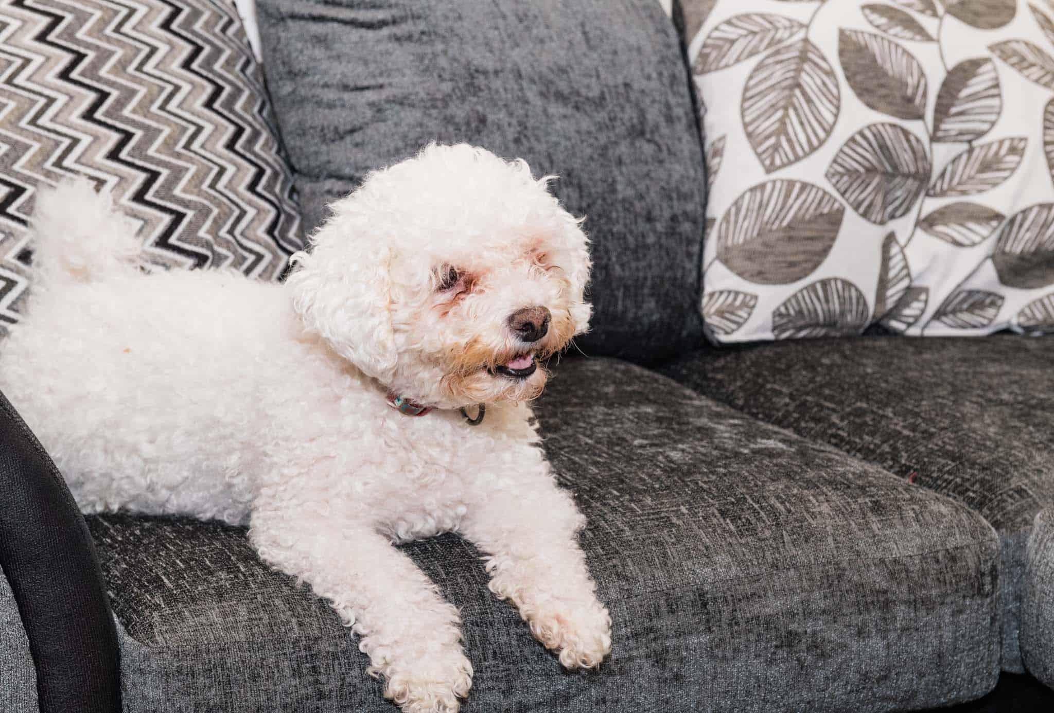casper laying on the sofa form wayfair