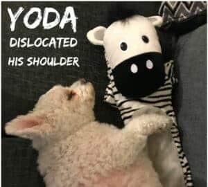 dog dislocated shoulder
