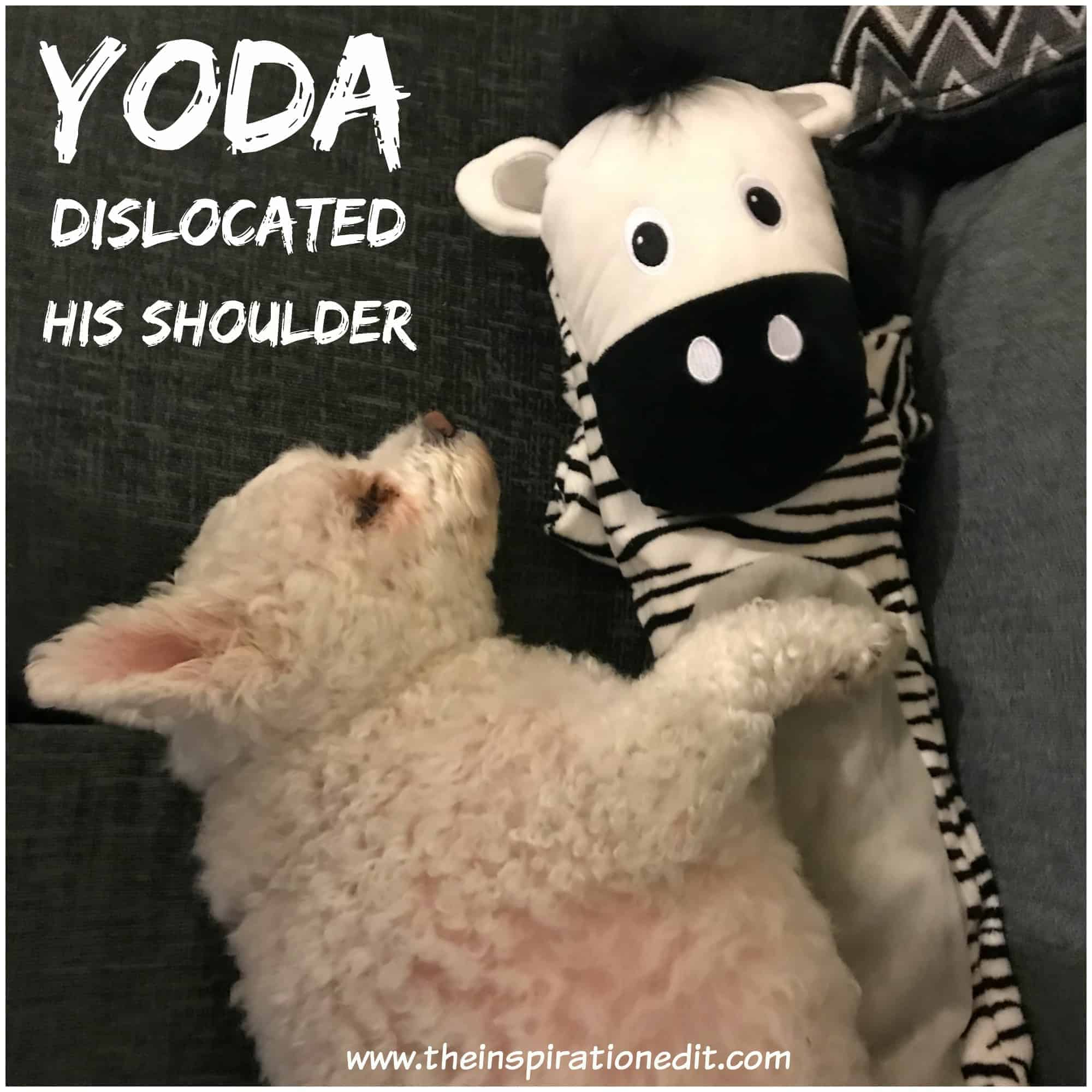 dog dislocated shoulder