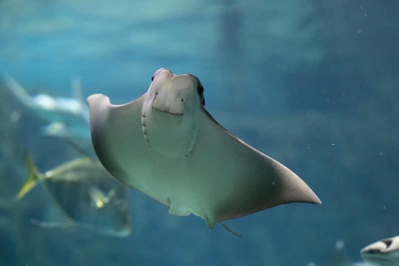 photograph of a stingray